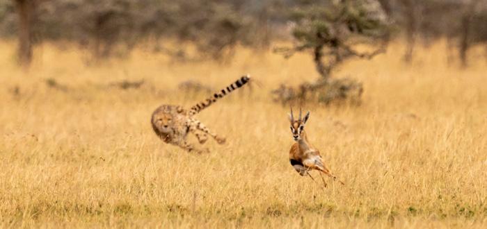 A cheetah chases an antelope