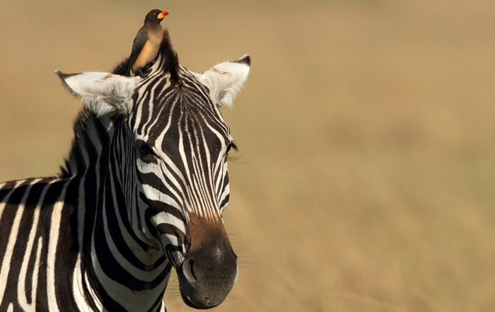 An oxpecer sits atop a zebra's head