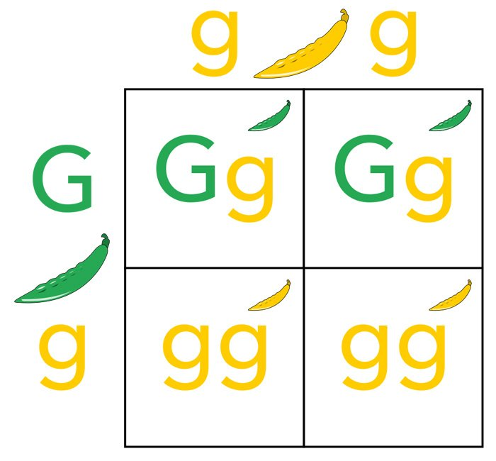 An example of a Punnett square using green (dominant) and yellow (recessive) pea plants