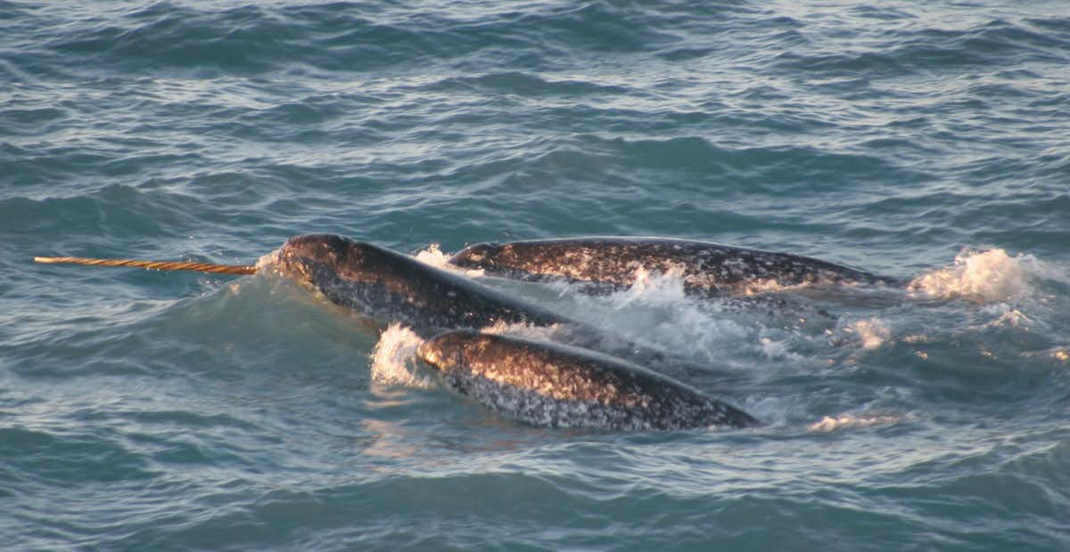 Narwhals are particularly vulnerable to boat traffic. (Kristin Laidre/NOAA Photo Library)