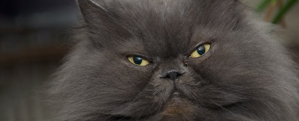 People Have Left Some Cat Breeds With Grimaces Without end Caught on Their Faces