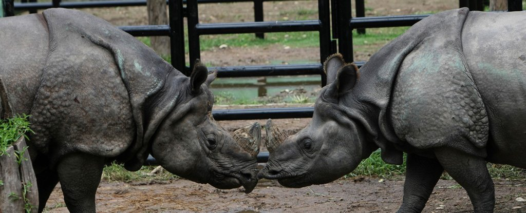 The Pandemic Has Made Relationship Troublesome, Even For a Rhinoceros