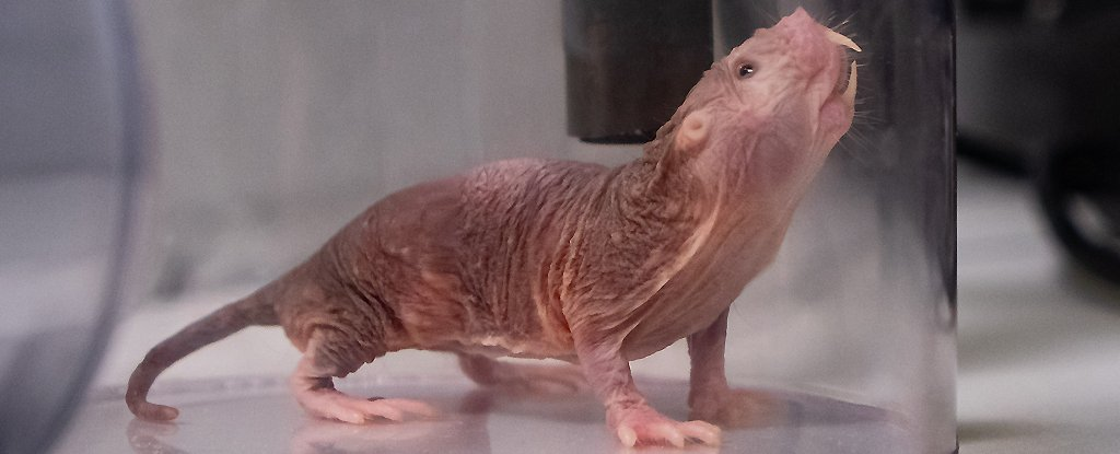 Naked mole rat chirping for the microphone.