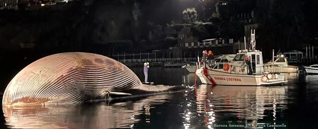 Considered one of The Largest Whale Carcasses Ever Discovered Has Washed Up in Italy