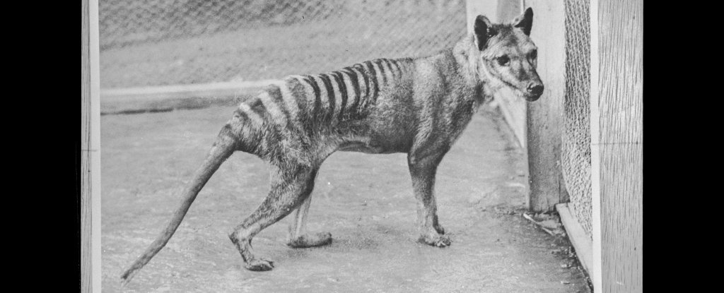 Despite Isolation Tasmanian Tiger Pups Were More Like Wolves Than Other Marsupials – ScienceAlert