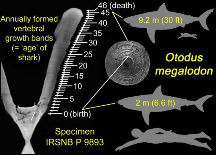 shark size