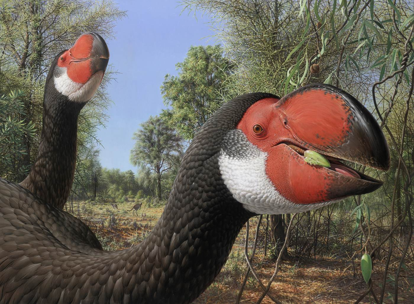 Artist's impression of the largest mihirung, Dromornis stirton. (Peter Trusler)