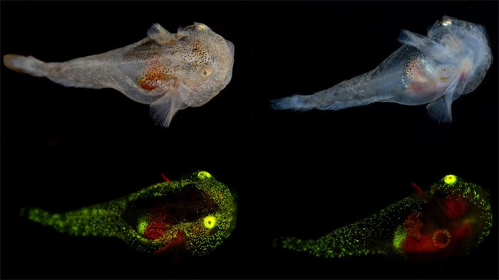 Four images of a juvenile variegated snailfish with normal colour and fluorescing green and red