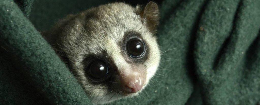 A fat-tailed dwarf lemur.