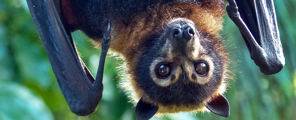 One Sort of Bat Mysteriously Cannot Echolocate. We Might Lastly Know Why