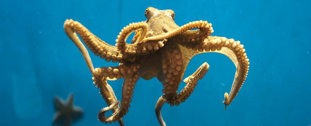 Octopuses Not Solely Really feel Ache Bodily, However Emotionally Too, First Examine Finds