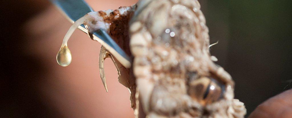 Venom extraction from snake for anti-venom preparation.