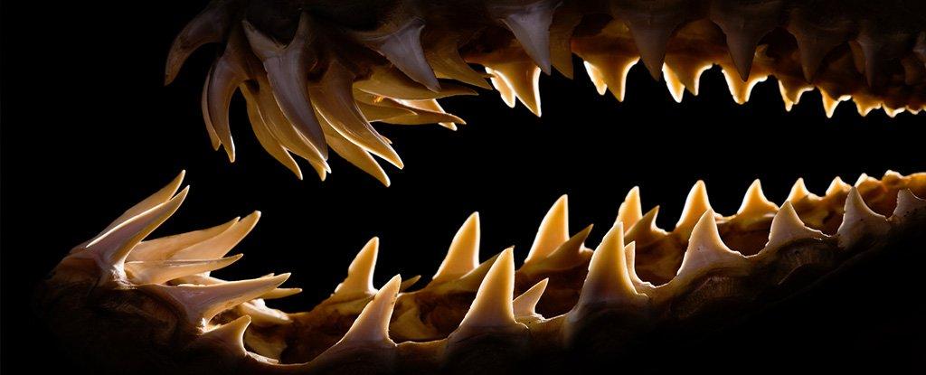 Shark teeth.
