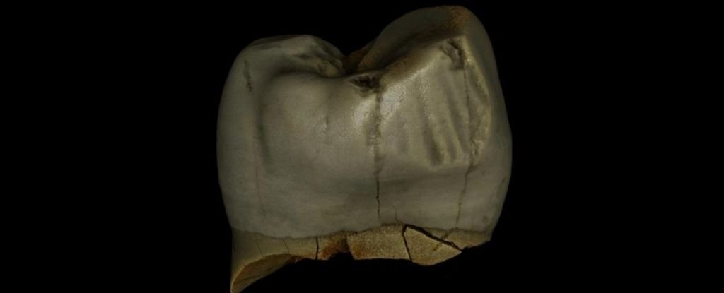 Radial wear-and-tear grooves on a Neanderthal premolar.