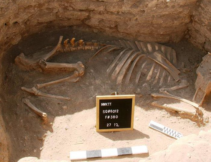 The skeletal remains of a cow or bull found in the 'Lost Golden City' in Egypt