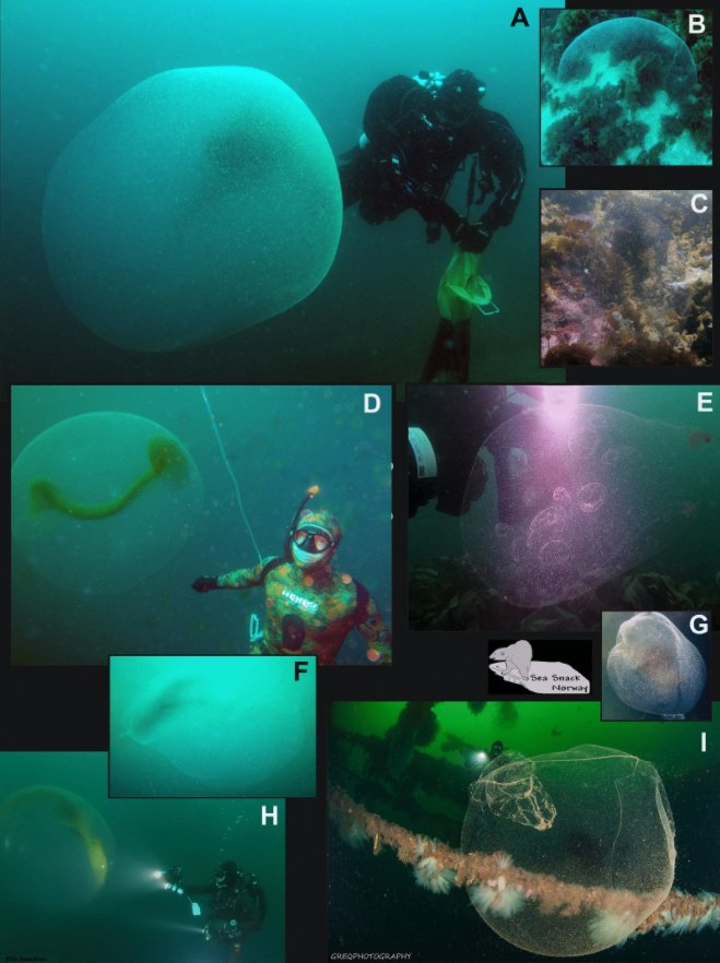 Collage Of Squid Egg Mass Photos