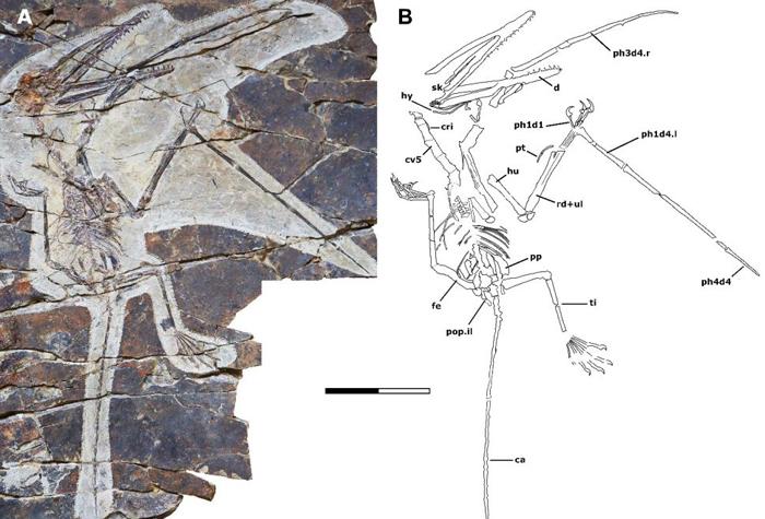 Kunpengopterus antipollicatus fossil and bone diagram
