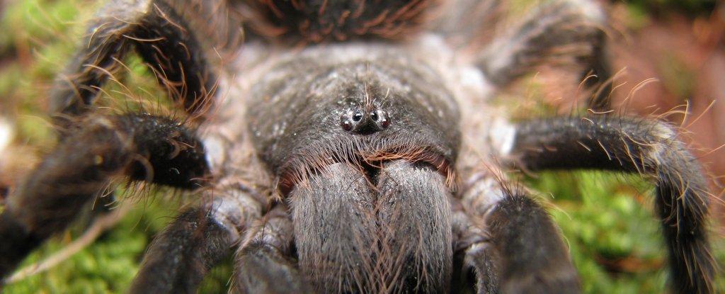 A Brazilian tarantula.