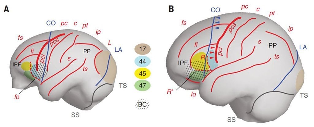 Topographical brain structures in great apes and humans.