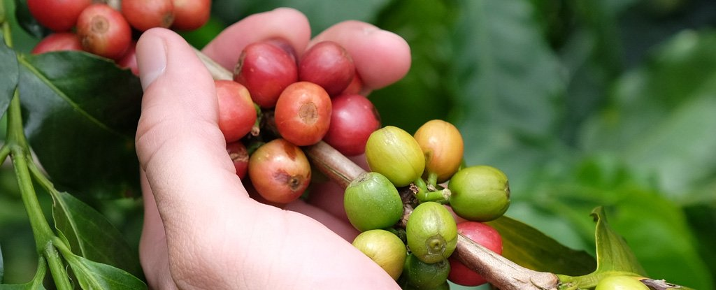 Cultivated coffee beans.