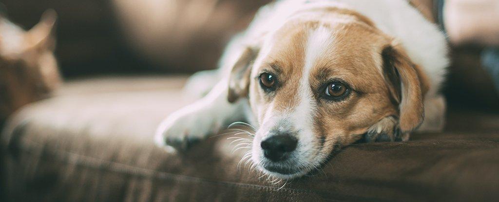 Seu cachorro pode ficar com ciúme, só de imaginar você com outro cachorro