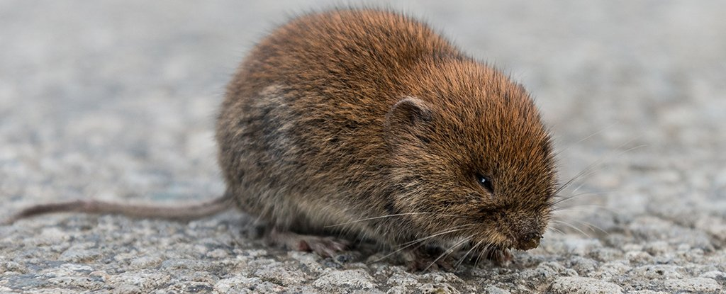 This is a common vole. Cute as a creeping vole, but not as weird