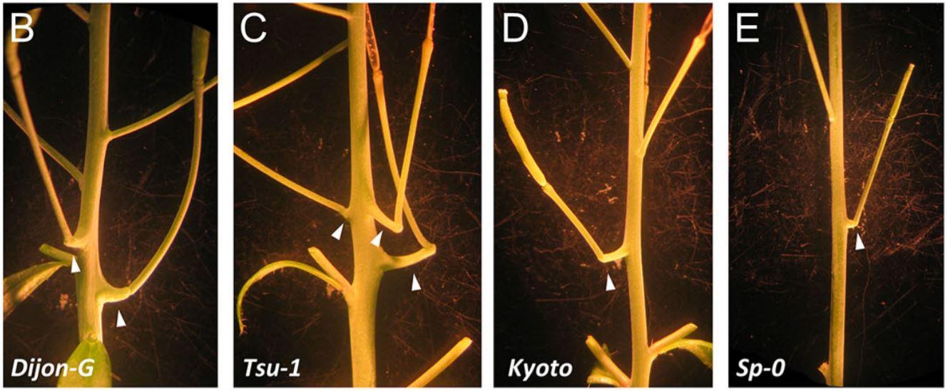 Representative short-photoperiod cantil formation (arrowheads) in natural types of Arabidopsis. ( Googkin & Assmann, Development, 2021