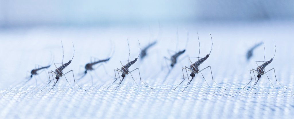 Scientists just got a step closer to eliminating the spread of mosquito-borne viruses, with an experimental approach against dengue feverpassing its most thorough test yet.