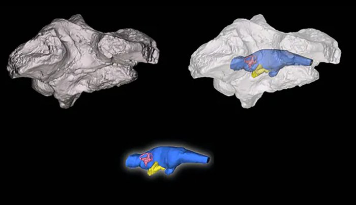 MRI scans of the river boss crocodile's skull and cavity, with colour impression of the brain