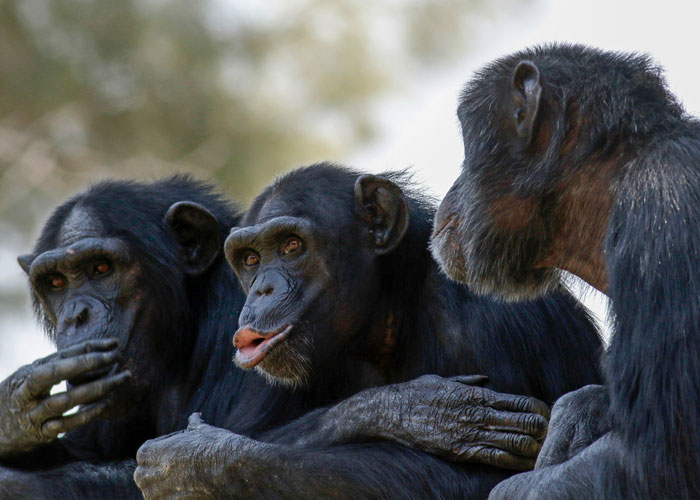 Three Chimps Sitting Together