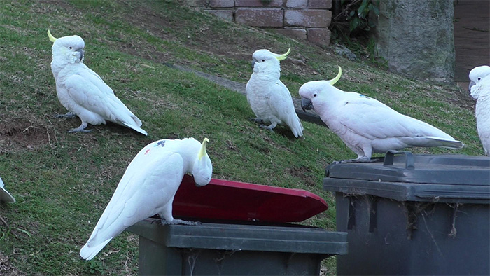 cockatoos watching one of their own