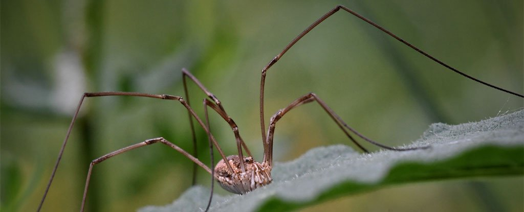 Scientists Shorten Daddy Long-Legs' Iconic Limbs to Figure Out How They Got So Gangly