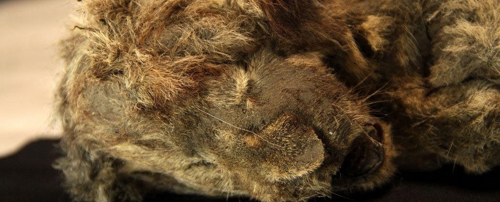 Frozen Cave Lion Cub Is So Well Preserved You Can Still See Its Whiskers