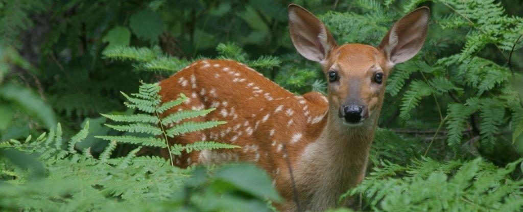 Startling Discovery Suggests 40% of Wild Deer in The US Have Had The Coronavirus - ScienceAlert