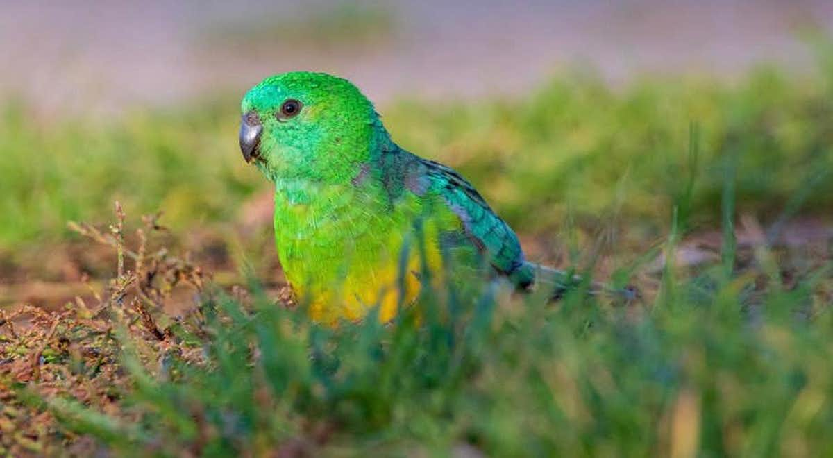 A red-rumped parrot, a species shown to increase beak size in response to climate change. (Ryan Barnaby)