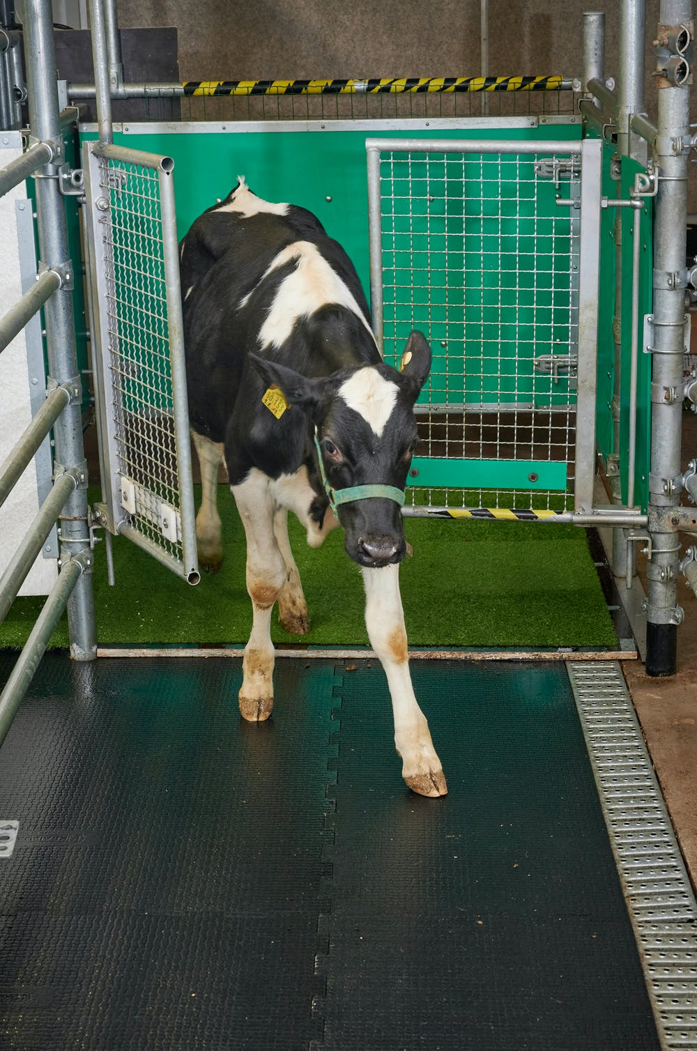 The calves exited the pen through a gate. (Research Institute for Farm Animal Biology)
