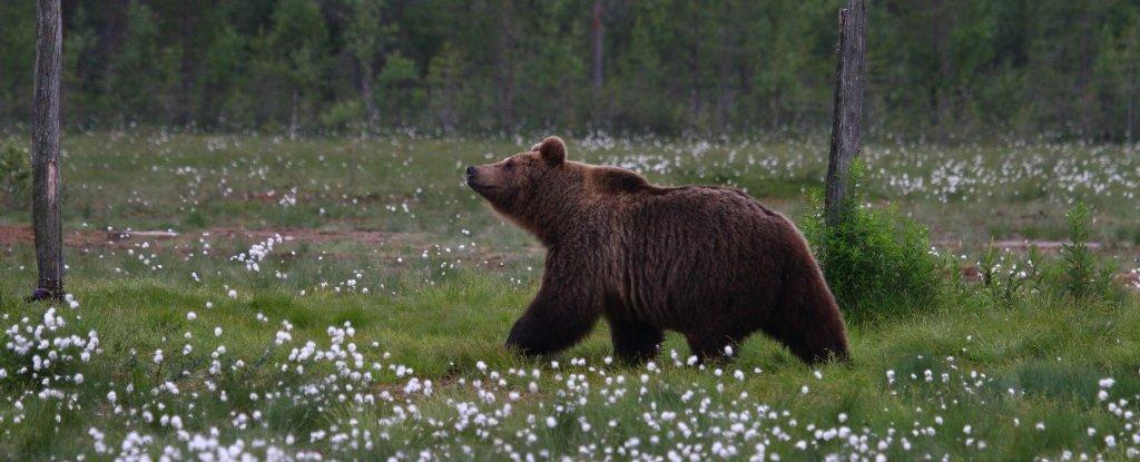 A brown bear, Ursus arctos.