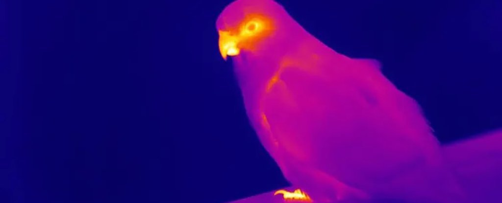 Thermal image of a king parrot, showing its beak is hotter than its body.