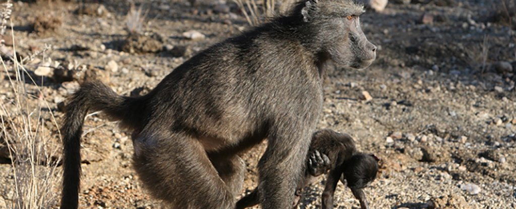 The Sad Reason Some Primate Moms May Carry Around Their Dead Infants