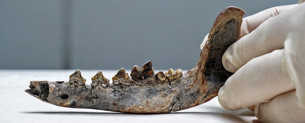 This 12,000-Year-Old Fossil Jaw Could Be The Oldest Known Dog in The Americas