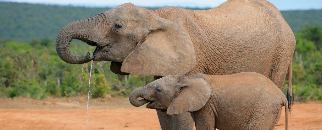 Poaching Has Caused 'Rapid Evolution' of Tuskless Elephants, New Study Reveals