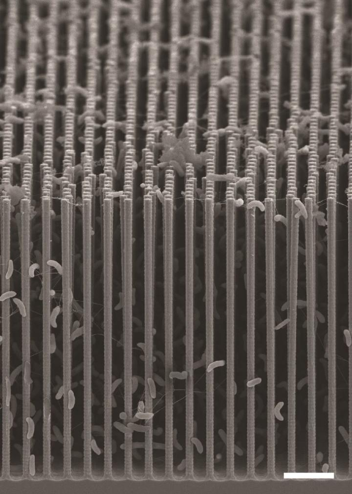 This is a cross-sectional SEM image of the nanowire-bacteria hybrid array used in a revolutionary new artificial photosynthesis system. (Credit: Berkeley Lab)