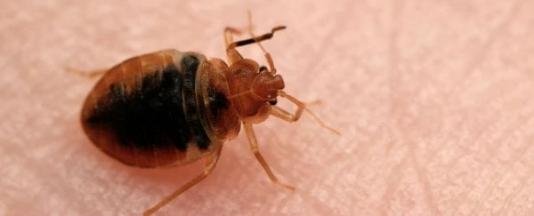 Bed bugs are rapidly evolving thicker skin to resist insecticides