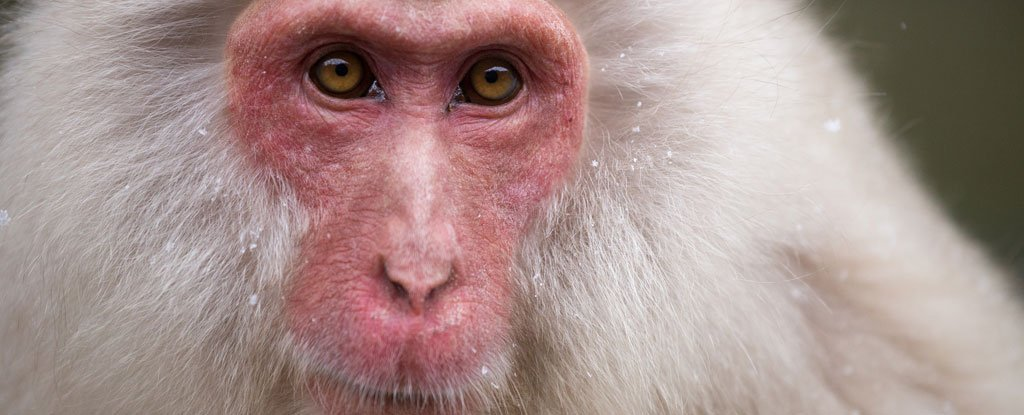 Scientists just used stem cells from one monkey to heal the hearts of five others