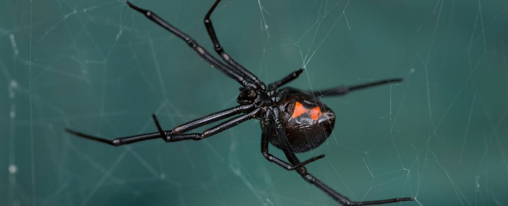 Scientists Have Identified a Virus With DNA Stolen From a Black Widow Spider