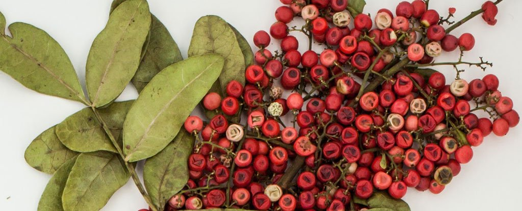 These Brazilian Red Berries Could Hold The Key to Fighting Deadly Superbugs