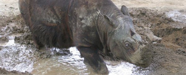 The Sumatran rhino has been on the brink of extinction for 10,000 years