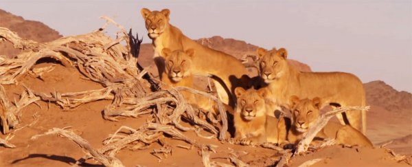 The most famous lion family in Namibia has been poisoned