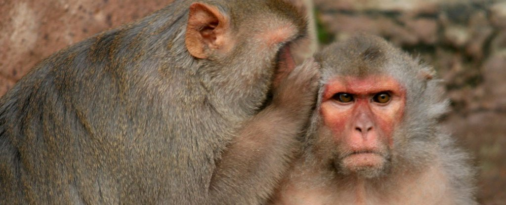 scientists link up monkey and rat brains in world