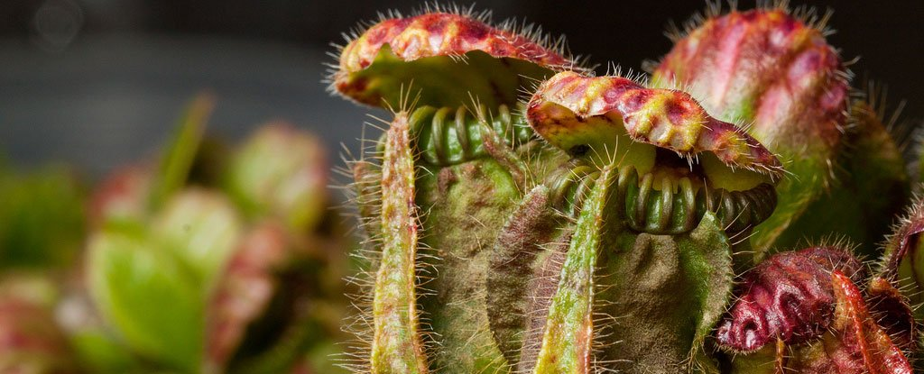 Scientists Finally Understand How Pitcher Plants Developed The Taste For Flesh